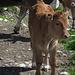 in posa per una foto: che bel vitelin