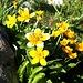 <b>Farferugine (Caltha palustris).</b>