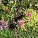 Hauswurz und Thymian, nur zwei Pflanzen in der Vielfalt