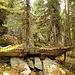 zwei Bäume wachsen auf diesem Steinaltar, dass schafft auch nur die Natur