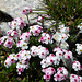 Superschöne Blumen am Grat