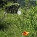Feuerlilie beim Ellhorn