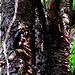 Ein Dreizehenspecht füttert sein Junges, wir haben Rund 15 Minuten ganz ruhig in ca. 50 Meter Distanz gewartet und gehofft, dass wir die Fütterung nochmal beobachten können. Und prompt kam der Specht von Baum zu Baum geflogen.