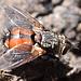 Raupenfliege <i>Tachinidae sp.</i>