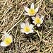 Alpen-anemone <i>Pulsatilla alpina</i>