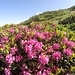 <b>Rododendri.</b>