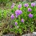 Nice flowers on the way!  Klebrige Primel (Primula glutinosa)? No, probably Primula latifolia.