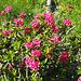 bellissimi fioriture di rododendri