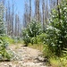 Wuchernder Eukalyptus