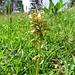 Grüne Hohlzunge (Coeloglossum viride)