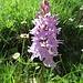 Fuchs' Gefleckte Fingerwurz (Dactylorhiza maculata subsp. fuchsii)