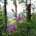 Rotes Waldvögelein (Cephalanthera rubra)
