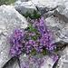 Alpen-Leinkraut (Linaria alpina)