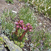 Sempervivum montanum (Berg-Hauswurz). Auf dem Gipfelanstieg zum Stockji fotografiert