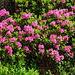 grossflächig leuchtet das Rot der Alpenrosen