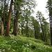 ... tauchten wir in einen wunderschönen Lärchenwald ein mit herrlichen Sommerblumen jeglicher Art. <br />Nicht nur für Botaniker eine Augenweide