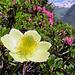 Eine Schwefel Anemone inmitten von Alpenrosen.