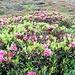 .....Rododendri a go go