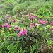 Alpenrosen - Blütezeit