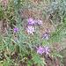 Auf der Alpennordseite noch nie gesehene Blumenart