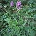 Dactylorhiza macuklata (L.) Soò<br />Orchidaceae<br /><br />Orchide macchiata<br />Orchis tacheté<br />Gefleckte Fingerwurz