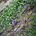 Campanula cochlearifolia Lam.<br />Campanulaceae<br /><br />Campanula dei ghiaioni<br />Campanule naine<br />Niedliche Glockenblume, Kleine Glockenblume, Löffelkrautblättrige Glockenblume