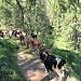 La mandria gira a destra mentre noi saliamo alla capanna Garzonera.