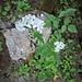 Anthiriscus sylvestris (L.) Hoffm.<br />Apiaceae<br /><br />Cerfoglio selvatico<br />Cerfeuil des prés<br />Wiesen-Kerbel