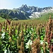 Rumex alpinus L.<br />Polygonaceae<br /><br />Romice alpino, Rabarbaro alpino<br />Rhubarbe des moines, Rumex des Alpes<br />Blacke, Alpen-Ampfer