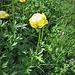Trollius europaesus L.<br />Ranunculaceae<br /><br />Botton d'oro, Luparia, Vulparia<br />Trolle d'Europe<br />Europäische Trollblume, Ankebälli<br />