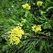 Biscutella laevigata L.<br />Brassicaceae<br /><br />Biscutella montanina, Biscutella levigata<br />Lunetière lisse, Biscutelle<br />Glattes Brillenschötchen<br />