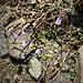 Soldanella pusilla Baumg.<br />Primulaceae<br /><br />Soldanella della silice<br />Petite soldanelle<br />Kleine Soldanelle, Kleines Alpenglöckchen<br />