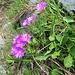Primula hirsuta All.<br />Primulaceae<br /><br />Primula irsuta<br />Primevère à gorge blanche<br />Rote-Felsen-Primel, Behaarte Schlüsselblume<br />
