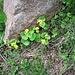 Viola biflora L.<br />Violaceae<br /><br />Viola montana<br />Violette à deux fleurs<br />Gelbes-Berg-Veilchen, Zweiblütiges Veilchen