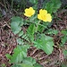Geum montanum L.<br />Rosaceae<br /><br />Cariofillata montana<br />Benoite des montagnes<br />Berg-Nelkenwurz