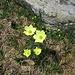 Pulsatilla alpina subsp. apiifolia (Scop.) Nyman<br />Ranunculaceae<br /><br />Pulsatilla sulfurea<br />Pulsatille soufrée, Pulsatille à fleurs d'ache<br />Schwefel-Anemone, Schwefel-Küchenschelle