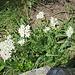 Achillea millefolium L.<br />Asteraceae<br /><br />Achillea millefoglie<br />Achillée millefeuille<br />Gewöhnliche Wiesen-Schafgarbe