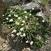 Minuartia verna (L.) Hiern<br />Caryophillaceae<br /><br />Minuartia primaverile<br />Minuartie des printemps<br />Frühlings-Miere