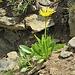 Doronicum clusii (All.) Tausch<br />Asteraceae<br /><br />Doronico del granito<br />Doronic calcifuge<br />Clusius' Gämswurz<br />