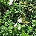 Paradisea liliastrum (L.) Bart.<br />Asparagaceae<br /><br />Paradisia<br />Lis des Alpes, Paradisie<br />Weisse Trichterlilie, Paradieslilie