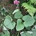 Adenostyles alpina (L.) Bluff & Fingerh.<br />Asteraceae<br /><br />Cavolaccio verde<br />Adénostyle glabre<br />Grüner Alpendost, Kahler Alpendost, Kahler Drüsengriffel