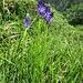 Phyteuma betoncifolium Vill.<br />Campanulaceae<br /><br />Raponzolo montano<br />Raiponce à feuilles de betoine<br />Betonienblättrige Rapunzel