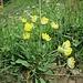 Anthyllis vulneraria L.<br />Fabaceae<br /><br />Vulneraria comune<br />Anthyllide vulnérarie<br />Echter Wundklee