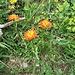Crepis aurea (L.) Cass.<br />Asteraceae<br /><br />Radicchiella aranciata<br />Crépide orangée<br />Gold-Pippau<br />