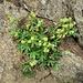 Alchemilla alpina L.<br />Rosaceae<br /><br />Alchemilla alpina<br />Alchmille des Alpes<br />Alpen Frauenmantel