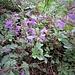 Clinopodium vulgare L.<br />Lamiaceae<br /><br />Clinopodio dei boschi<br />Sarnette clinopode<br />Wirbeldost