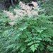 Aruncus dioicus (Walter) Fernald<br />Rosaceae<br /><br />Barba di capra<br />Reine des bois, Barbe de bouc<br />Wald-Geissbart