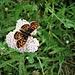 Vanessa cardui L.<br />Nymphalidae<br /><br />Vanessa del cardo<br />Belle-Dame<br />Distelfalter