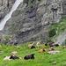 Viele Kühe und ein gigantischer Wasserfall bei Vadres.