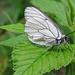 Ein Weißer Schmetterling.